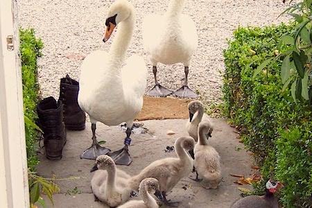 Ducks At The Door | Glan Clwyd Isa